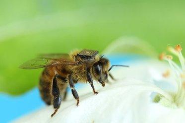 Brasileiro cria microssensor para estudar sumiço de abelhas no mundo