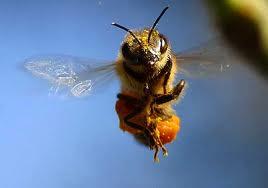 Europa aprova resolução para proteger abelhas