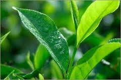 Pesquisa comprova que chá verde é aliado contra obesidade