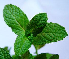 Menta: eficaz contra a tosse e diversos outros males